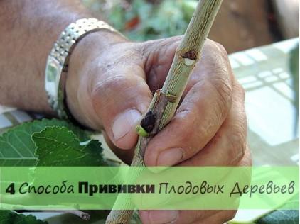 4 способа прививки плодовых деревьев